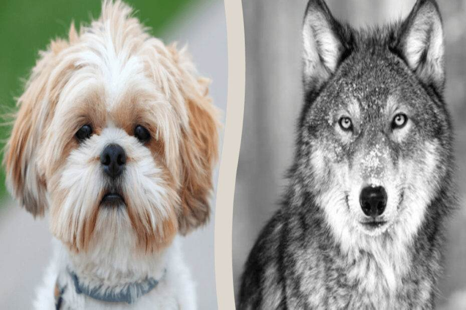 Shih Tzu related to Wolf
